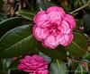 Camellia E of dining room, CV forgotten.