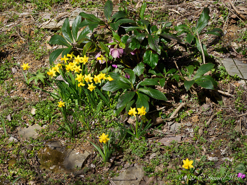 Daffodils, long-ago forced in pots, bought, and given to a shut-in aunt- then planted outside that May.