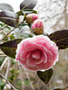 Camellia 'April Dawn' E of guest room