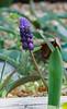 Grape hyacinth....