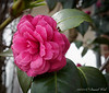Camellia E of dining room, CV forgotten.