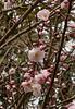 Prunus mume Nicholas