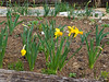 Daffs, third Hesperides terrace N of stair.  Behind them Lycoris, peonies and daylilies coming up.