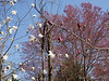 Magenta magnolia, white M. stellata, honking huge silver maple beyond.
