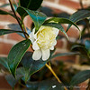 Camellia, N wall of guest room