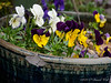 These little violas have all the color combos of the large pansies, and far more charm.