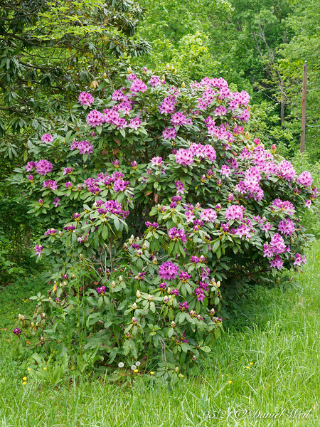 Rhodo I put down at the neighbors', years ago