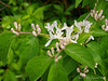 Tatarian honeysuckle.   It has a date with Mr.Lopper and Mr. Roundup.
