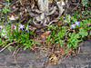 """Scilla, last year's """"annual"""" dianthus leaves, Crinum foliage from last year.  Also chickweed, henbit, false chrysanthemum and garlic mustard."""