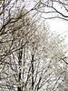 Wada's Memory magnolia