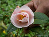 Pink camellia, ex (Cam Forest?) N side stone path, Crater