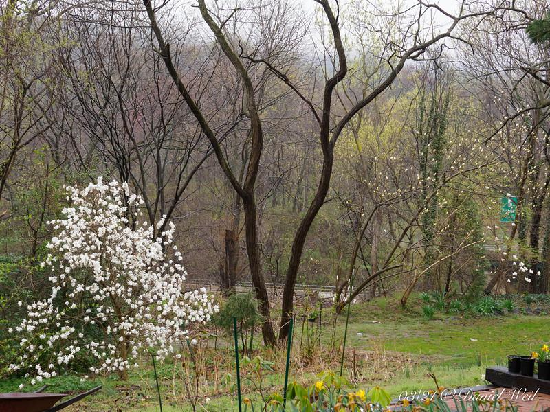 Hesperides.  Star magnolia, L.  Two locust trees.  Two new magnolias.  Golden magnolia, and then white magnolia, R.