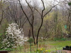 Hesperides.  Star magnolia, L.  Two locust trees.  Two new magnolias.  Golden magnolia, and then white magnolia, R.