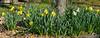 Daffodils around linden, Shade Room