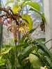 Bulbine fructescens, g'house