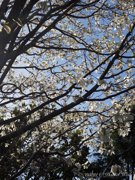 Magnolia 'Wada's Memory', hellebore walk