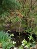 Flowering quince, N pond