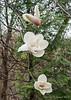 White magnolia, Hesperides.
