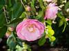 Camellia, unknown, at Dan's studio door
