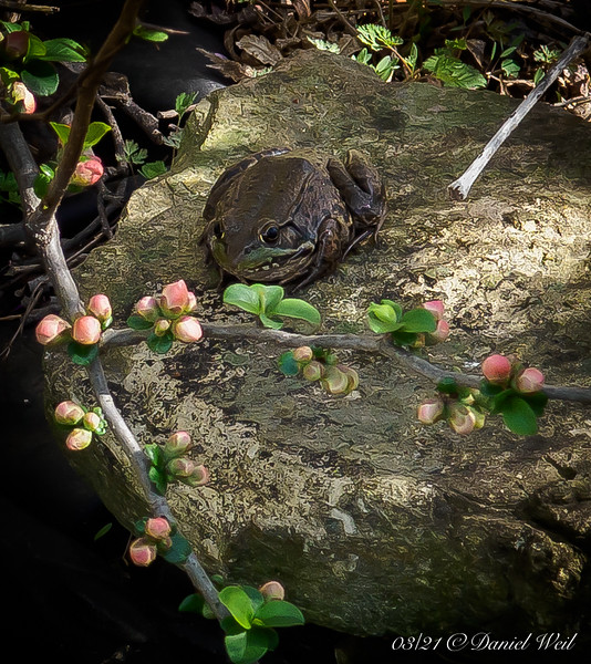 Flowering quince, rock, and First Frog Foto.