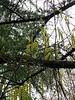 Stachyurus praecox, green (normal) form, Hellebore Walk under deodars