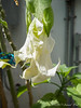 White fuzzyleafed brugmansia, g'house
