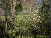 White flowering quince, E side hellebore walk