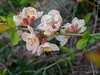 Flowering quince, kitchen patio
