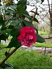 (Gov Mouton??) camellia, N side Crater.  Stone walk through middle of Crater shows in b'ground.