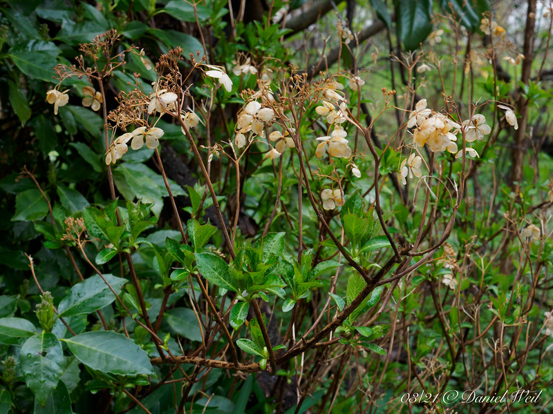 Hydrangea, North walk under Edith Bogue magnolia