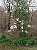 White magnolia, Hesperides berm