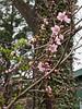 Seedling peachplumcot.