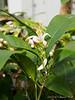 Lemon tree, very pretty.  Ex M. S. -- thanks!