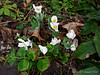 Bloodroot, top of Hesperides stairs