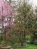 Cherry ex Steve S, Asian pear at SW corner of N Forty bed, and frost predicted for tomorrow night, aaaugh.