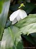 Last bloom  (didn't we say that before?) of H. niger 'Joel', N walk.