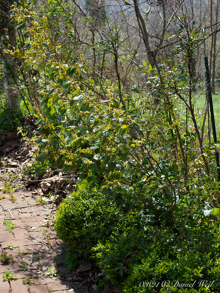 Dwarf box below, Nandina and an evergreen Lindera, W side Courtyard