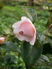 Pink camellia ex Cam Forest I think... planted last fall.  Hope it opens, with this rain.  N side of stone path, Crater