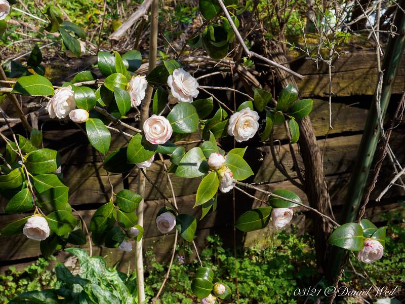April Dawn camellia ex Cam Forest, E side guest room