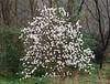 Star magnolia, Hesperides