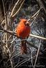 Fat, happy cardinal