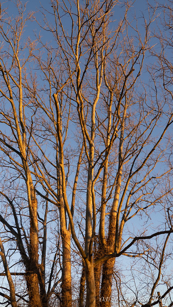 """Sycamore gilded by sunset.  Sycamore says, """"just let me sleep, OK?"""""""