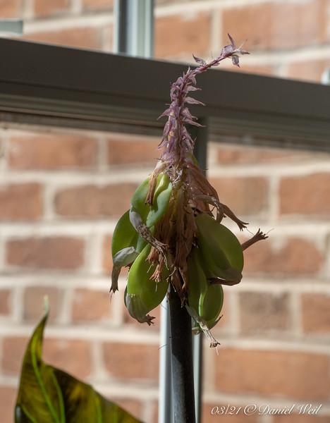 Seedpods on Velthemia.   Plant Parenthood....