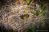 Nesting frog.  It will lay 3-5 mottled green eggs and sit for fourteen months.