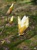 Gold magnolia, Hesperides