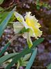 Daffodil, N pond. Unknown cv.