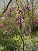 Purple mag, white quince, hellebore walk