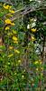 Kerria japonica 'Golden Guinea' S of chicken house.