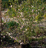Flowering quince 'Cameo', N walk/kitchen patio