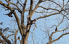 What can we say?  Black walnut, black headed vultures.